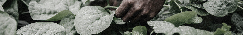 Fiji Cuisine harvesting breaker